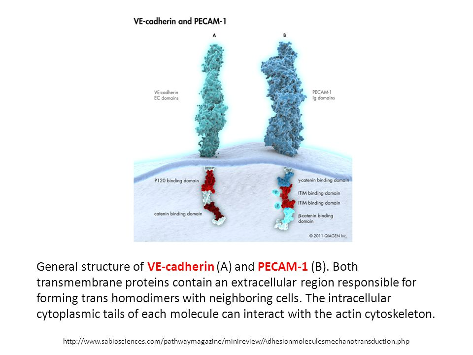 General structure of VE-cadherin (A) and PECAM-1 (B).