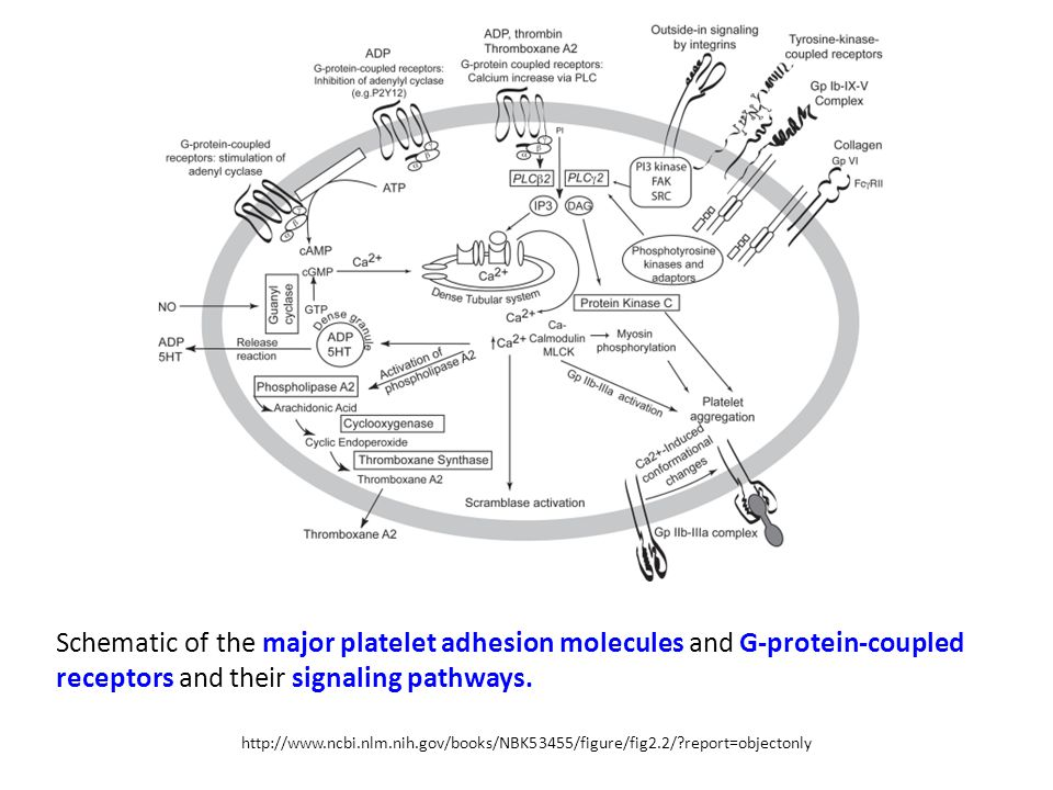 http://www.ncbi.nlm.nih.gov/books/NBK53455/figure/fig2.2/?report=objectonly Schematic of the major platelet adhesion molecules and G-protein-coupled r