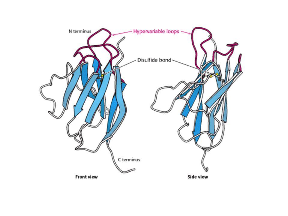 Struttura delle molecole di adesione della IgSF (1) Sono proteine transmembrana di tipo I, con una regione N- terminale extracellulare, un singolo dominio transmembrana e un dominio C-terminale citoplasmatico.
