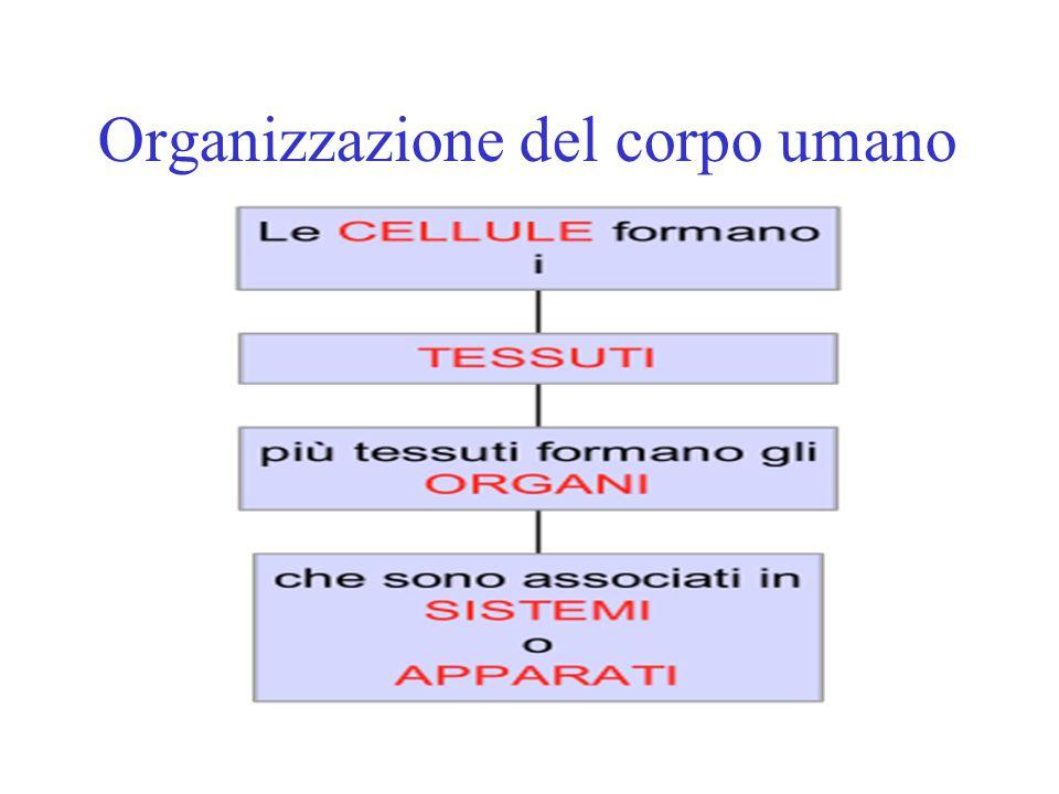 LIVELLI DI ORGANIZZAZIONE Ciascun apparato o sistema svolge una certa funzione con lo scopo fondamentale di mantenerci in vita.
