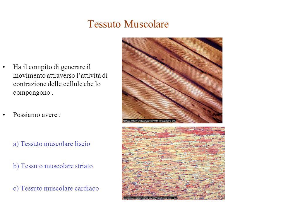 Tessuto Muscolare Ha il compito di generare il movimento attraverso l'attività di contrazione delle cellule che lo compongono. Possiamo avere : a) Tes