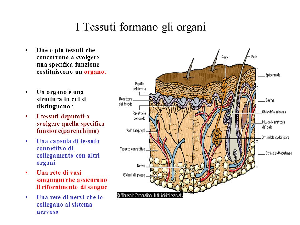 I Tessuti formano gli organi Due o più tessuti che concorrono a svolgere una specifica funzione costituiscono un organo. Un organo è una struttura in
