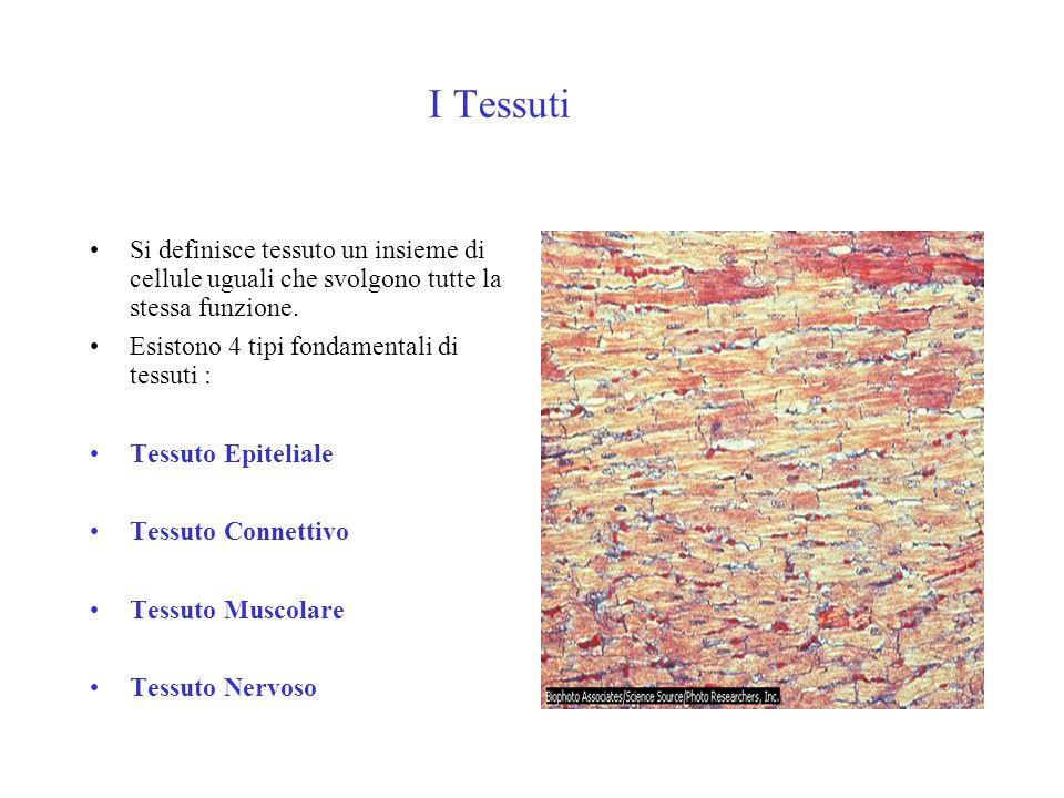 I Tessuti Si definisce tessuto un insieme di cellule uguali che svolgono tutte la stessa funzione. Esistono 4 tipi fondamentali di tessuti : Tessuto E