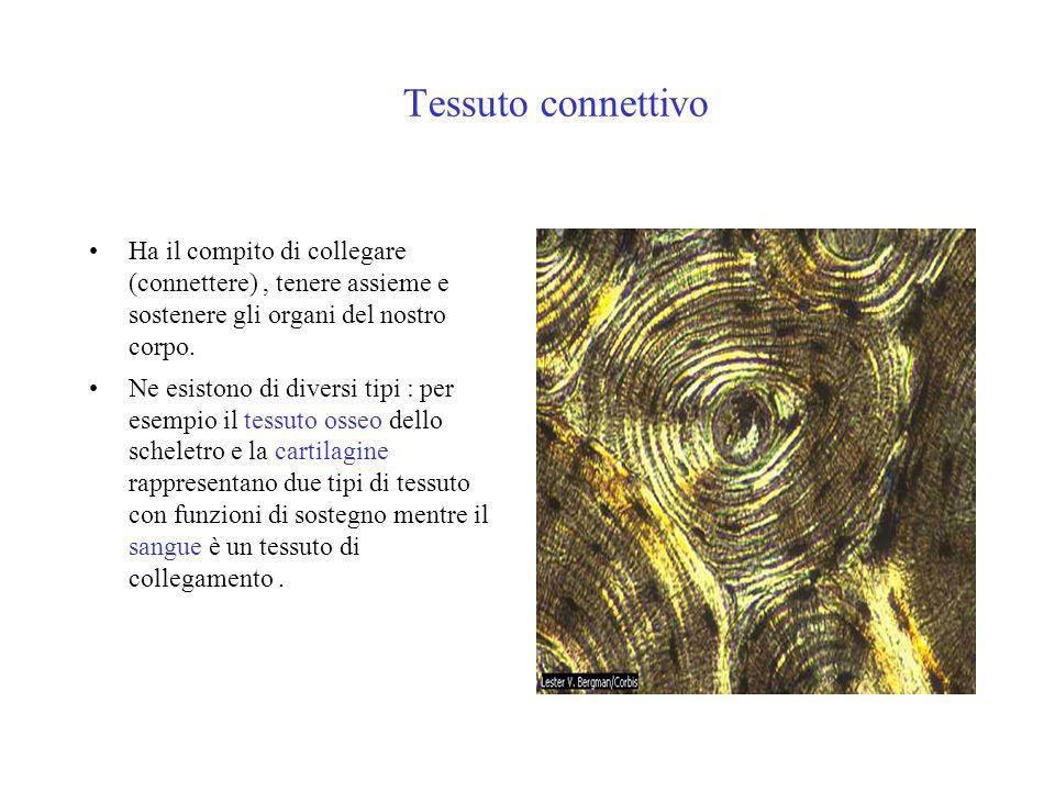 Tessuto connettivo Ha il compito di collegare (connettere), tenere assieme e sostenere gli organi del nostro corpo. Ne esistono di diversi tipi : per