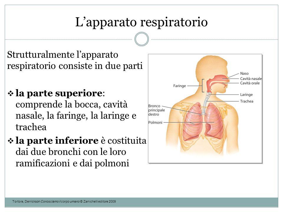 L'apparato respiratorio Tortora, Derrickson Conosciamo il corpo umano © Zanichelli editore 2009 Strutturalmente l'apparato respiratorio consiste in du