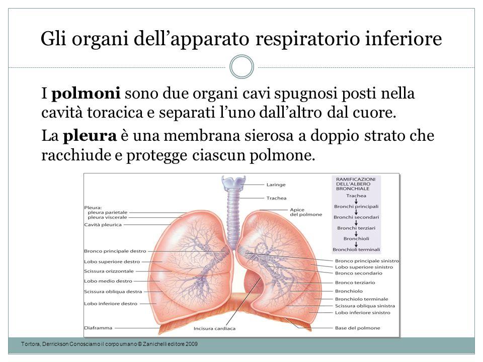 Gli organi dell'apparato respiratorio inferiore Tortora, Derrickson Conosciamo il corpo umano © Zanichelli editore 2009 I polmoni sono due organi cavi
