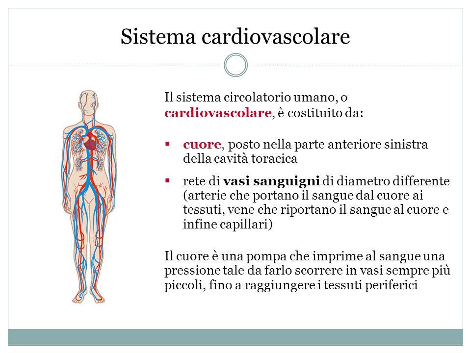 Sistema cardiovascolare Il sistema circolatorio umano, o cardiovascolare, è costituito da:  cuore, posto nella parte anteriore sinistra della cavità