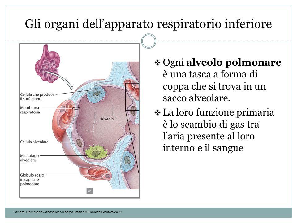 Gli organi dell'apparato respiratorio inferiore Tortora, Derrickson Conosciamo il corpo umano © Zanichelli editore 2009  Ogni alveolo polmonare è una