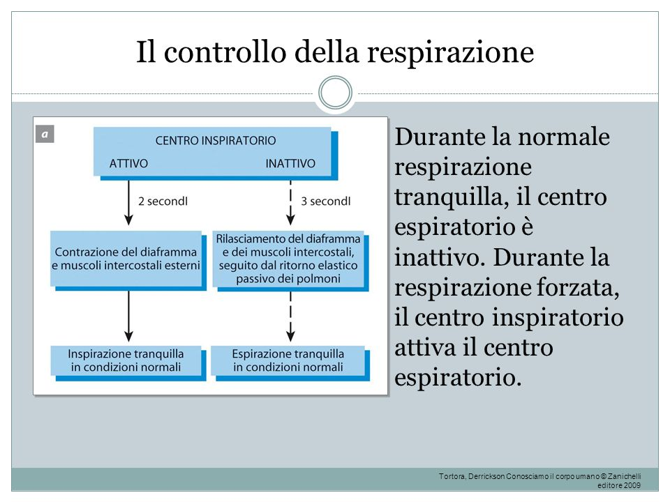 Il controllo della respirazione Durante la normale respirazione tranquilla, il centro espiratorio è inattivo. Durante la respirazione forzata, il cent