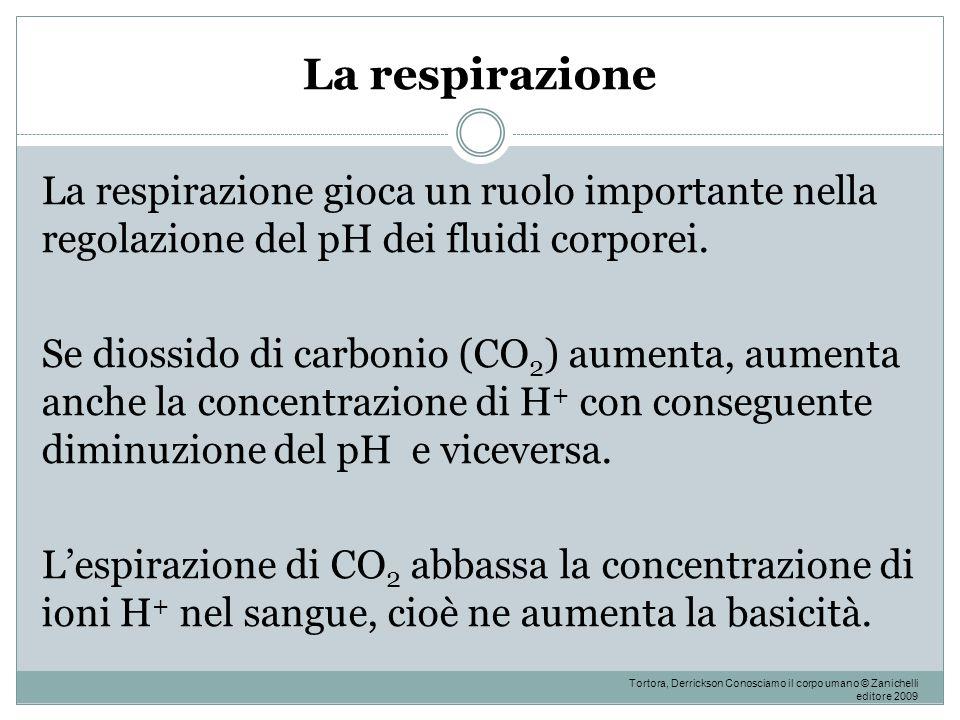 La respirazione La respirazione gioca un ruolo importante nella regolazione del pH dei fluidi corporei. Se diossido di carbonio (CO 2 ) aumenta, aumen