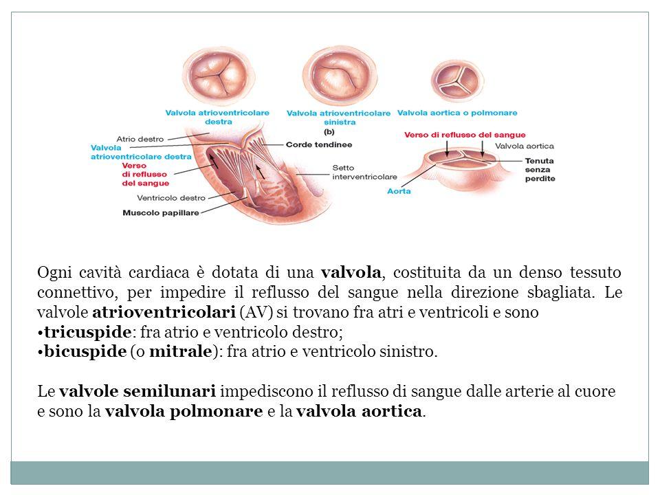 Ogni cavità cardiaca è dotata di una valvola, costituita da un denso tessuto connettivo, per impedire il reflusso del sangue nella direzione sbagliata