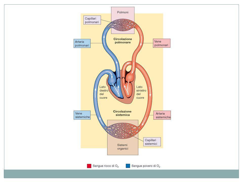 La respirazione La respirazione gioca un ruolo importante nella regolazione del pH dei fluidi corporei.