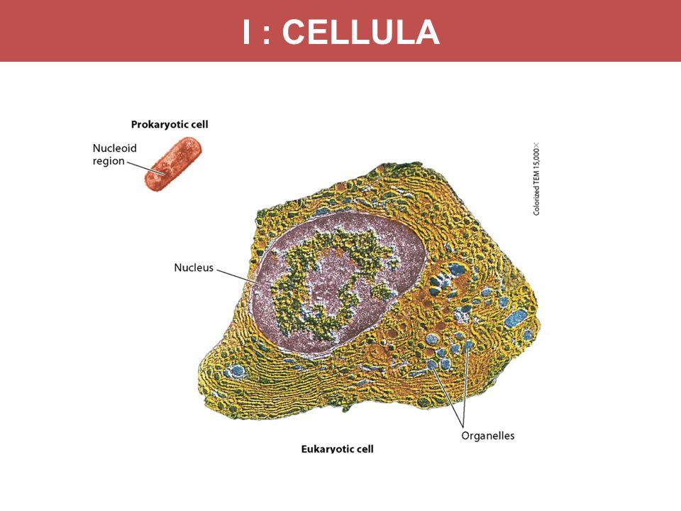 I : CELLULA