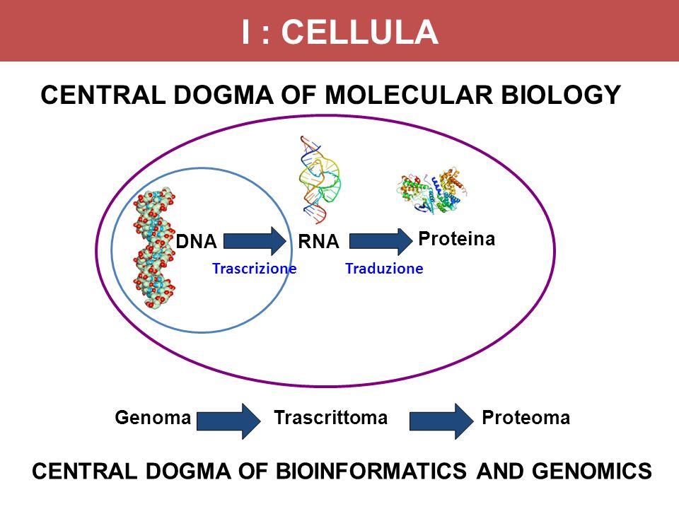 DNARNA Proteina CENTRAL DOGMA OF MOLECULAR BIOLOGY GenomaTrascrittomaProteoma CENTRAL DOGMA OF BIOINFORMATICS AND GENOMICS TrascrizioneTraduzione I :