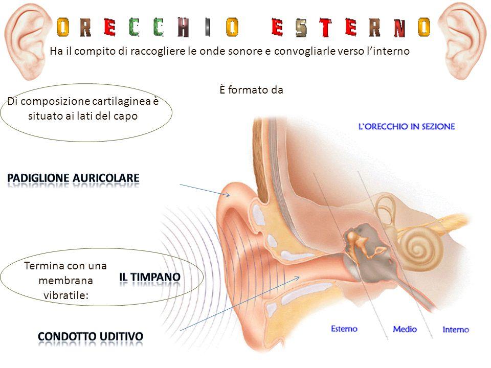 È formato da Ha il compito di raccogliere le onde sonore e convogliarle verso l'interno Termina con una membrana vibratile: Di composizione cartilagin