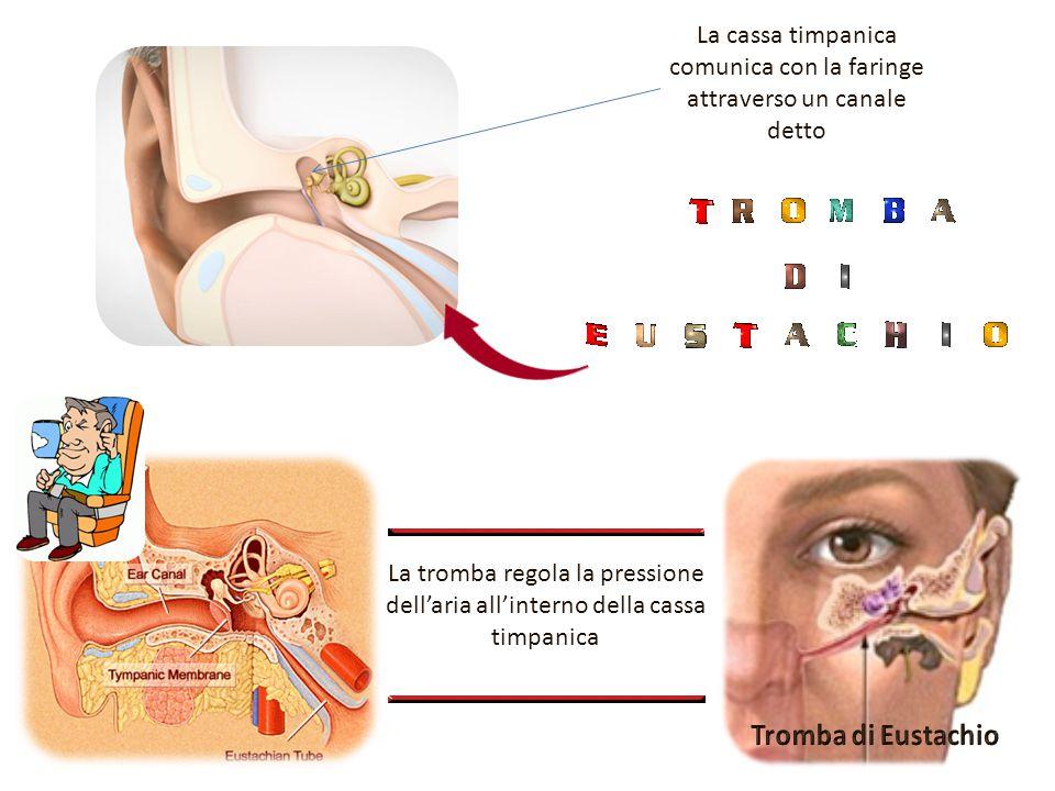 La cassa timpanica comunica con la faringe attraverso un canale detto La tromba regola la pressione dell'aria all'interno della cassa timpanica