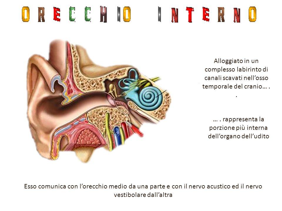 Dal sacculo si origina un canale a spirale detto COCLEA Dall'utricolo si originano tre canali detti CANALI SEMICIRCOLARI Entrambi gli organi sono riempiti di un liquido denso detto