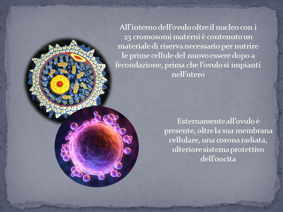 All'interno dell'ovulo oltre il nucleo con i 23 cromosomi materni è contenuto un materiale di riserva necessario per nutrire le prime cellule del nuov