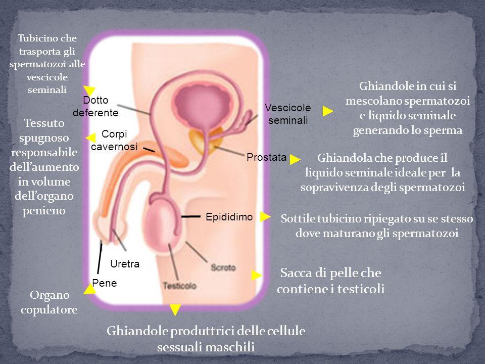Ghiandole produttrici delle cellule sessuali maschili Sacca di pelle che contiene i testicoli Epididimo Sottile tubicino ripiegato su se stesso dove m