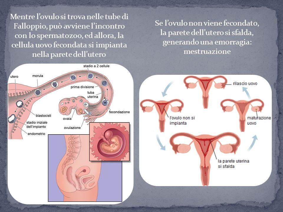 Mentre l'ovulo si trova nelle tube di Falloppio, può avviene l'incontro con lo spermatozoo, ed allora, la cellula uovo fecondata si impianta nella par
