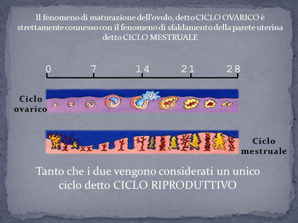 Il fenomeno di maturazione dell'ovulo, detto CICLO OVARICO è strettamente connesso con il fenomeno di sfaldamento della parete uterina detto CICLO MES