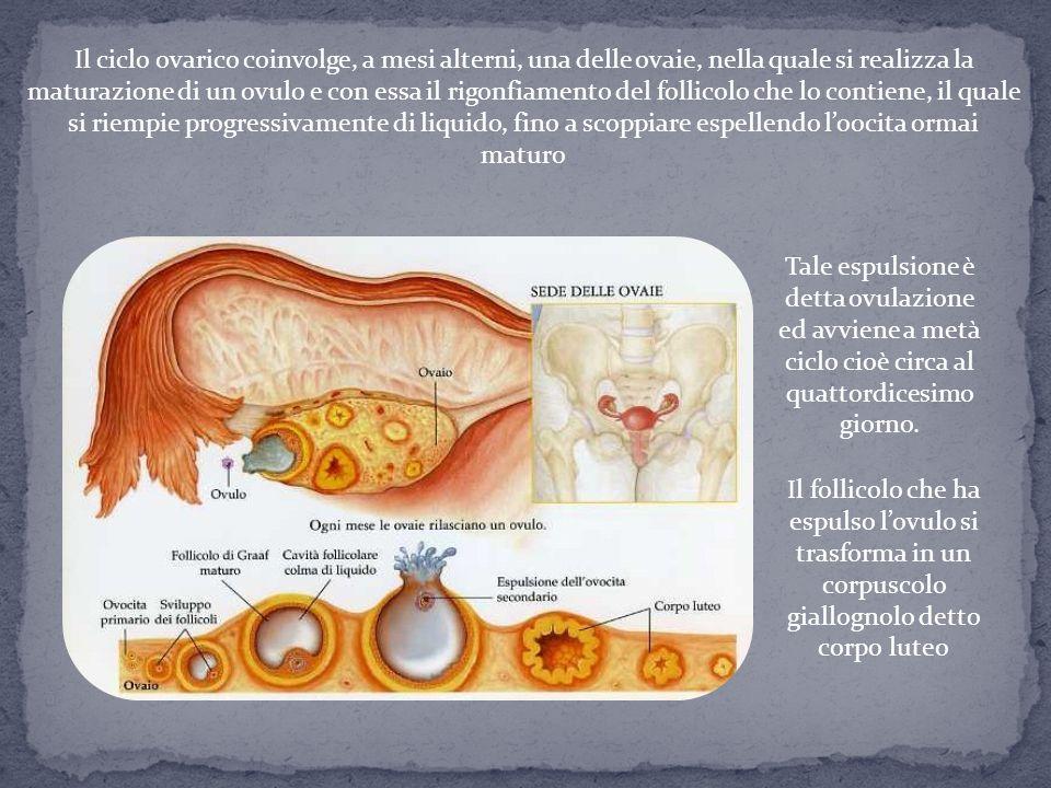 Il ciclo ovarico coinvolge, a mesi alterni, una delle ovaie, nella quale si realizza la maturazione di un ovulo e con essa il rigonfiamento del follic