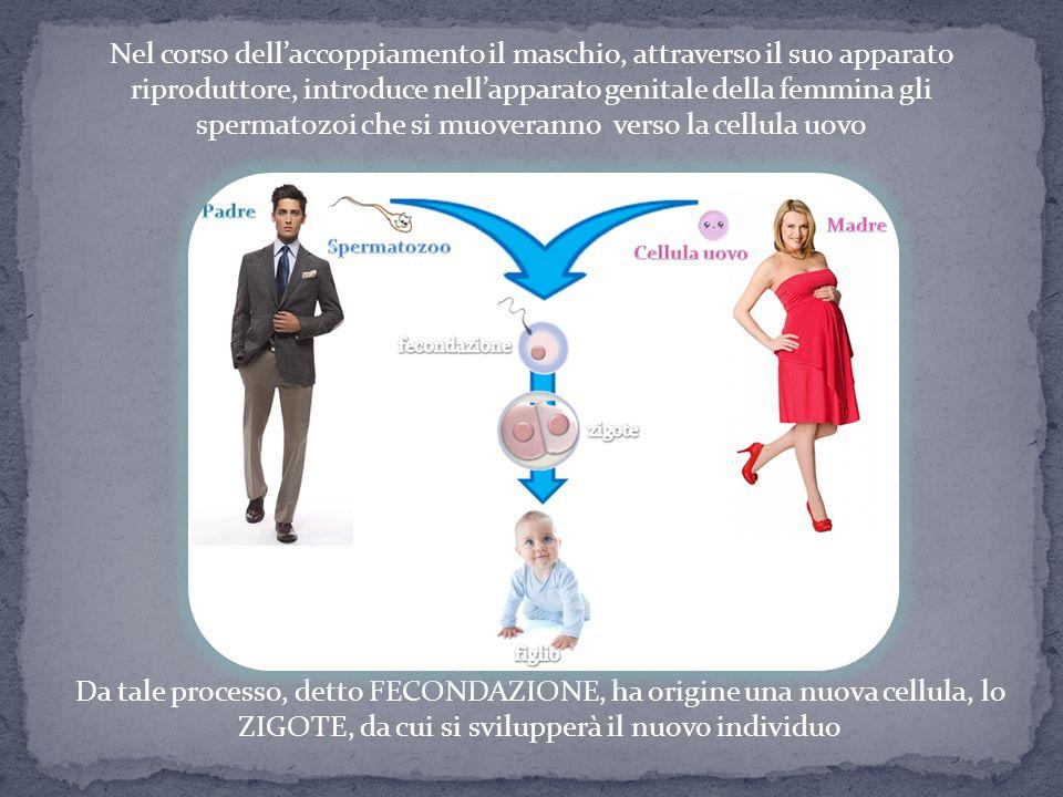 Nel corso dell'accoppiamento il maschio, attraverso il suo apparato riproduttore, introduce nell'apparato genitale della femmina gli spermatozoi che s