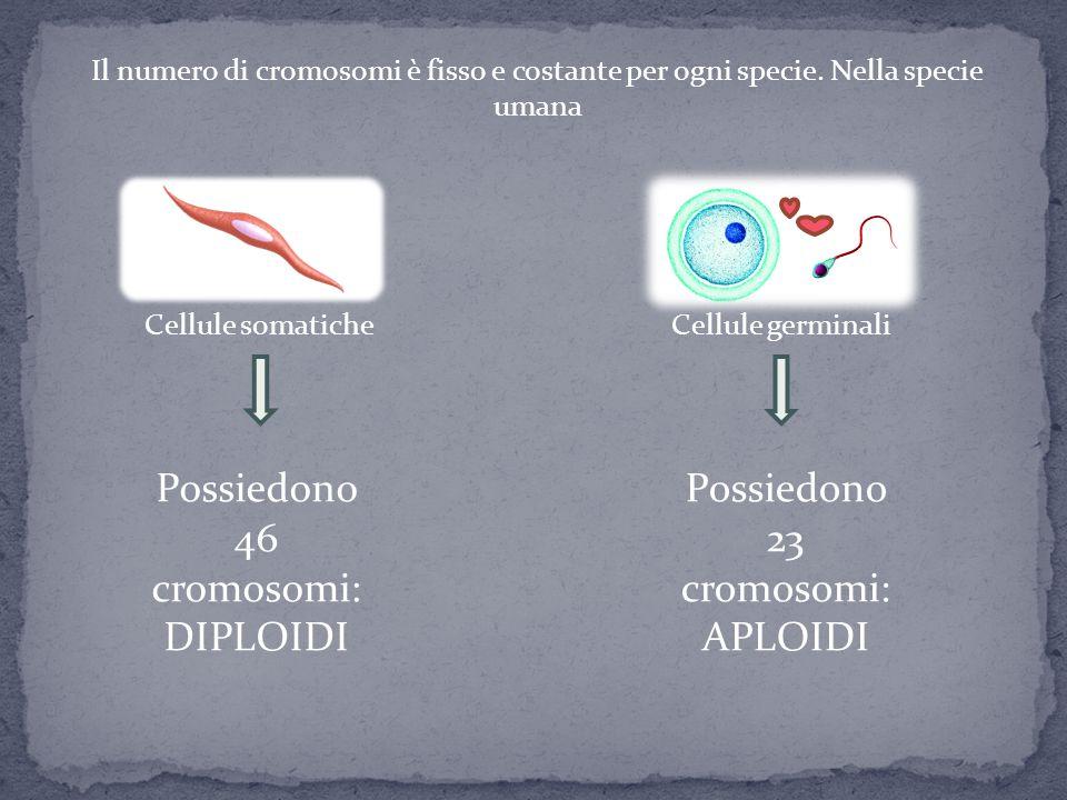 Cellule somaticheCellule germinali Il numero di cromosomi è fisso e costante per ogni specie. Nella specie umana Possiedono 46 cromosomi: DIPLOIDI Pos