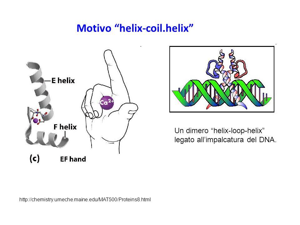 "Motivo ""helix-coil.helix"" Un dimero ""helix-loop-helix"" legato all'impalcatura del DNA. http://chemistry.umeche.maine.edu/MAT500/Proteins8.html"