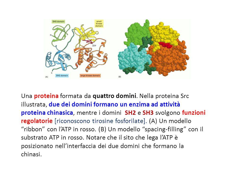 Una proteina formata da quattro domini. Nella proteina Src illustrata, due dei domini formano un enzima ad attività proteina chinasica, mentre i domin