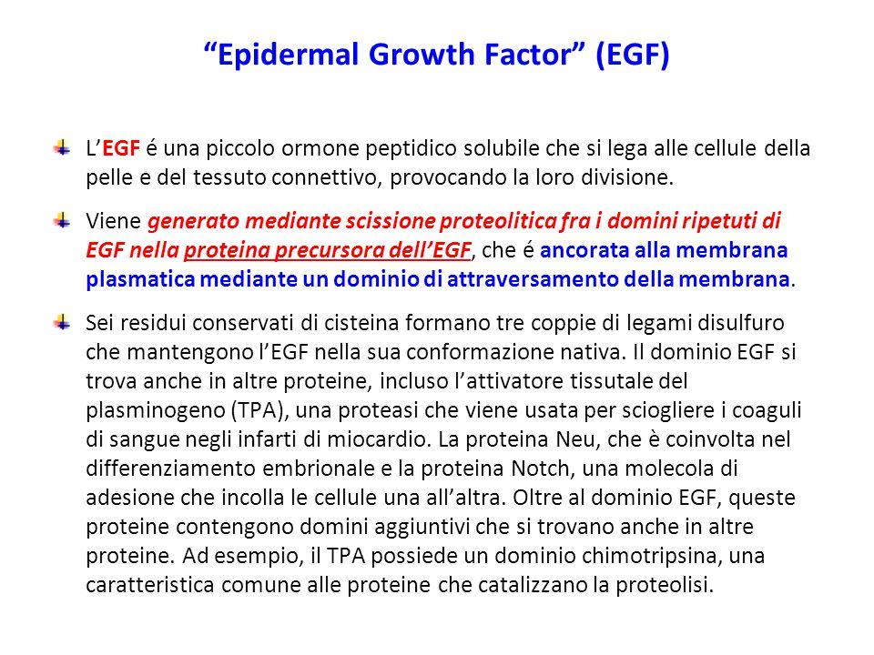 """""""Epidermal Growth Factor"""" (EGF) L'EGF é una piccolo ormone peptidico solubile che si lega alle cellule della pelle e del tessuto connettivo, provocand"""