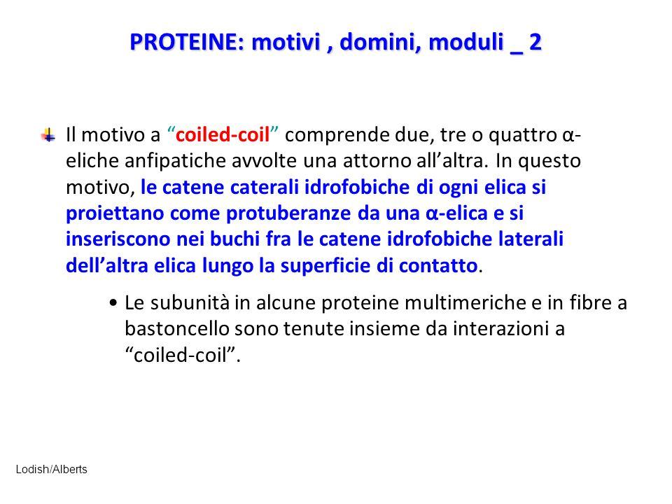 """PROTEINE: motivi, domini, moduli _ 2 Il motivo a """"coiled-coil"""" comprende due, tre o quattro α- eliche anfipatiche avvolte una attorno all'altra. In qu"""