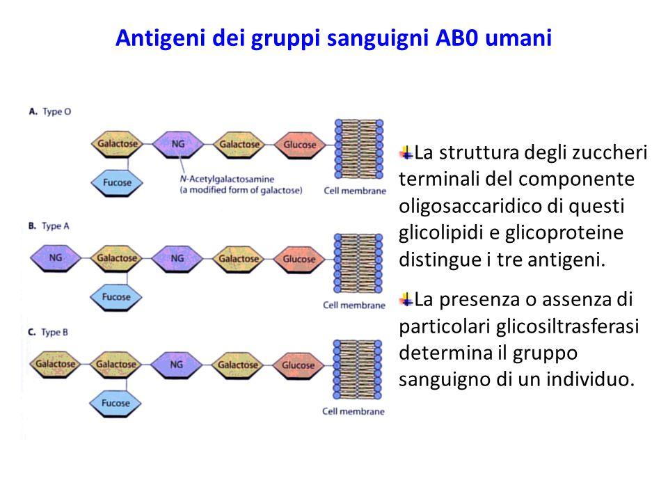 La struttura degli zuccheri terminali del componente oligosaccaridico di questi glicolipidi e glicoproteine distingue i tre antigeni. La presenza o as