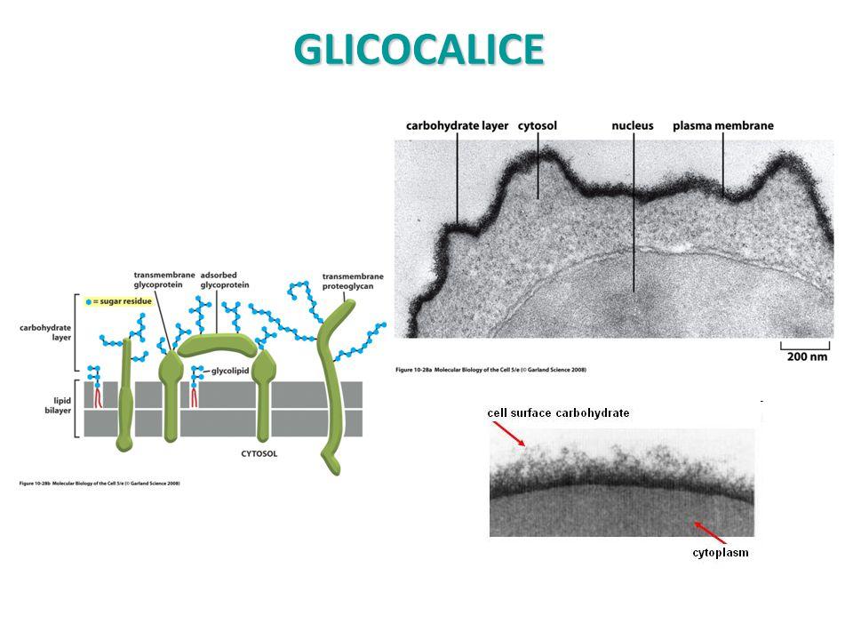 Mucine (1) Le mucine possono essere: o glicoproteine fortemente O-glicosilate che si trovano nelle secrezioni mucose o glicoproteine transmembrana della membrana plasmatica che hanno la frazione glicanica esposta alla superficie cellulare.