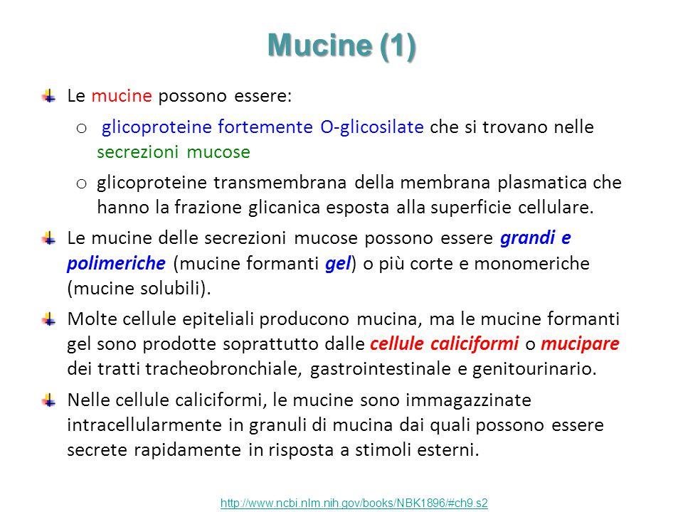 Mucine (1) Le mucine possono essere: o glicoproteine fortemente O-glicosilate che si trovano nelle secrezioni mucose o glicoproteine transmembrana del