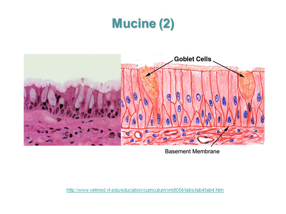 Mucine (2) http://www.vetmed.vt.edu/education/curriculum/vm8054/labs/lab4/lab4.htm