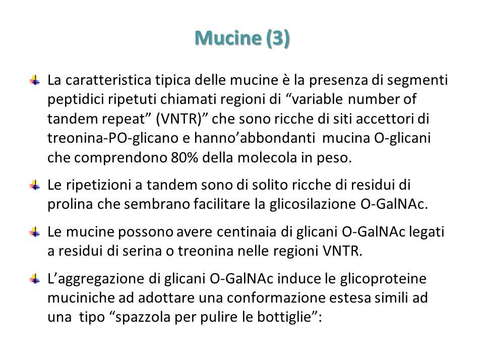 """Mucine (3) La caratteristica tipica delle mucine è la presenza di segmenti peptidici ripetuti chiamati regioni di """"variable number of tandem repeat"""" ("""