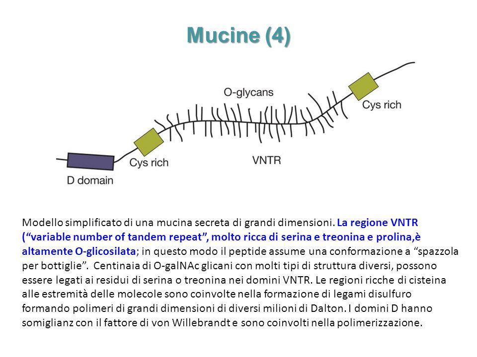 """Mucine (4) Modello simplificato di una mucina secreta di grandi dimensioni. La regione VNTR (""""variable number of tandem repeat"""", molto ricca di serina"""