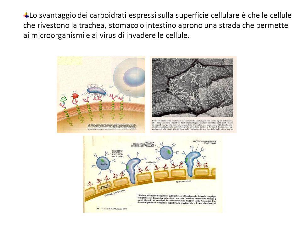 Lo svantaggio dei carboidrati espressi sulla superficie cellulare è che le cellule che rivestono la trachea, stomaco o intestino aprono una strada che