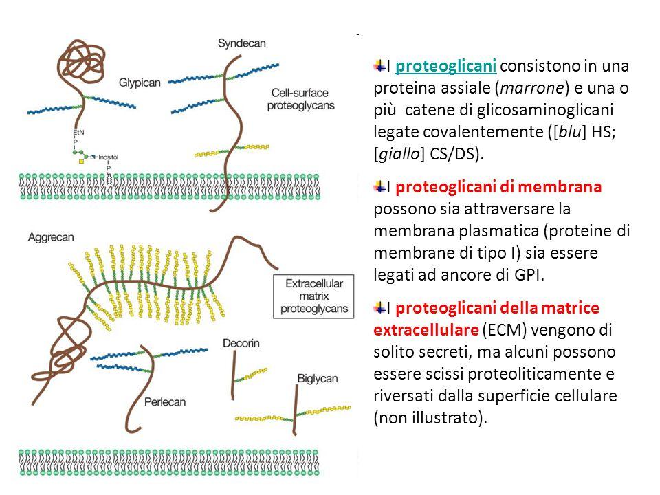 I proteoglicani consistono in una proteina assiale (marrone) e una o più catene di glicosaminoglicani legate covalentemente ([blu] HS; [giallo] CS/DS)