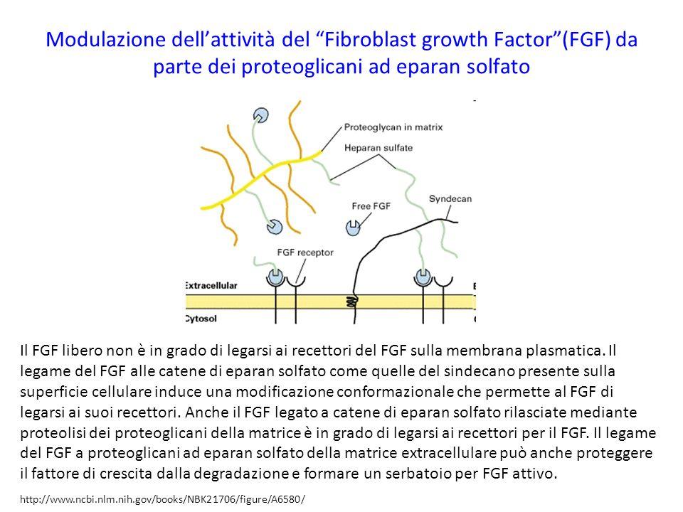 """Modulazione dell'attività del """"Fibroblast growth Factor""""(FGF) da parte dei proteoglicani ad eparan solfato Il FGF libero non è in grado di legarsi ai"""