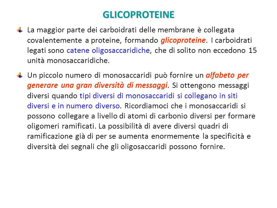 GLICOPROTEINE La maggior parte dei carboidrati delle membrane è collegata covalentemente a proteine, formando glicoproteine. I carboidrati legati sono