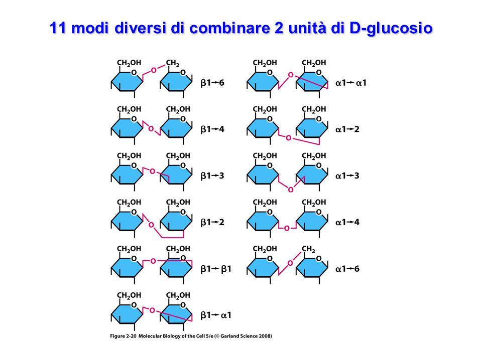 6 o più tipi diversi di zuccheri collegati sia mediante legami glicosidici lineari che ramificati Gli oligosaccaridi legati a proteine o a lipidi possono avere 6 o più tipi diversi di zuccheri collegati sia mediante legami glicosidici lineari che ramificati, il numero di tipi diversi di oligosaccaridi che si possono formare è estremamente elevato.