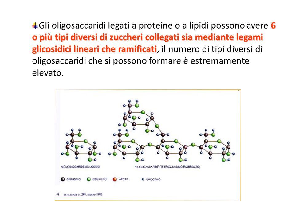 6 o più tipi diversi di zuccheri collegati sia mediante legami glicosidici lineari che ramificati Gli oligosaccaridi legati a proteine o a lipidi poss