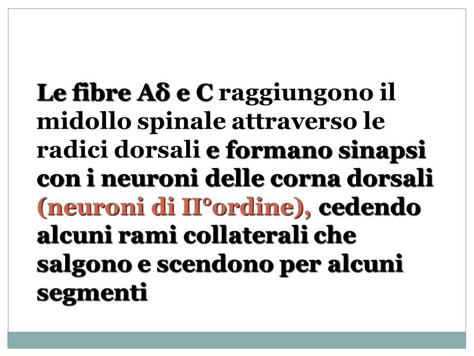 Le fibre Aδ e C e formano sinapsi con i neuroni delle corna dorsali (neuroni di II°ordine), cedendo alcuni rami collaterali che salgono e scendono per alcuni segmenti Le fibre Aδ e C raggiungono il midollo spinale attraverso le radici dorsali e formano sinapsi con i neuroni delle corna dorsali (neuroni di II°ordine), cedendo alcuni rami collaterali che salgono e scendono per alcuni segmenti