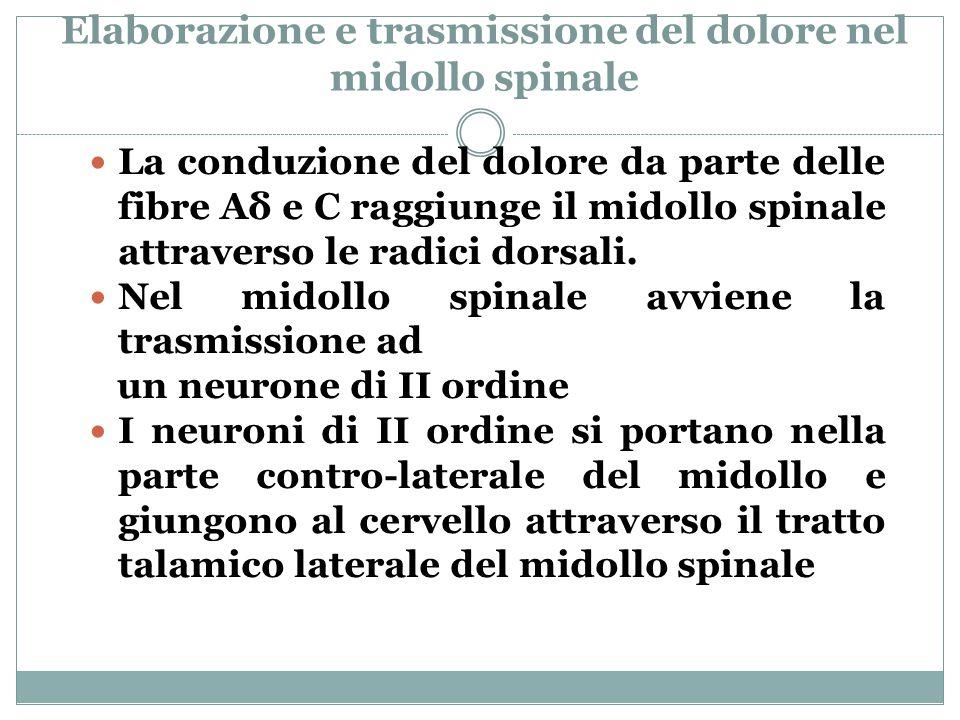 Elaborazione e trasmissione del dolore nel midollo spinale La conduzione del dolore da parte delle fibre Aδ e C raggiunge il midollo spinale attraverso le radici dorsali.