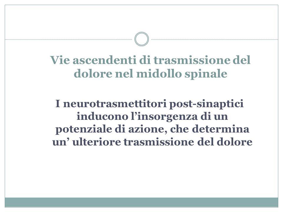 Vie ascendenti di trasmissione del dolore nel midollo spinale I neurotrasmettitori post-sinaptici inducono l'insorgenza di un potenziale di azione, che determina un' ulteriore trasmissione del dolore