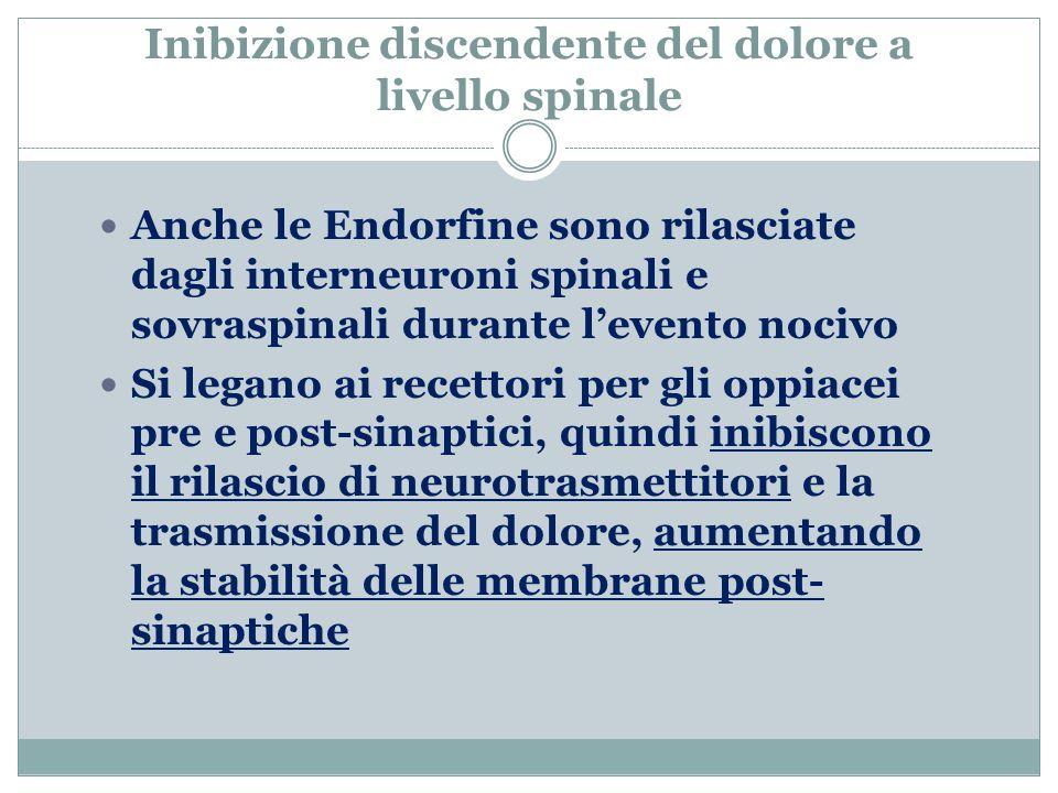 Inibizione discendente del dolore a livello spinale Anche le Endorfine sono rilasciate dagli interneuroni spinali e sovraspinali durante l'evento nocivo Si legano ai recettori per gli oppiacei pre e post-sinaptici, quindi inibiscono il rilascio di neurotrasmettitori e la trasmissione del dolore, aumentando la stabilità delle membrane post- sinaptiche