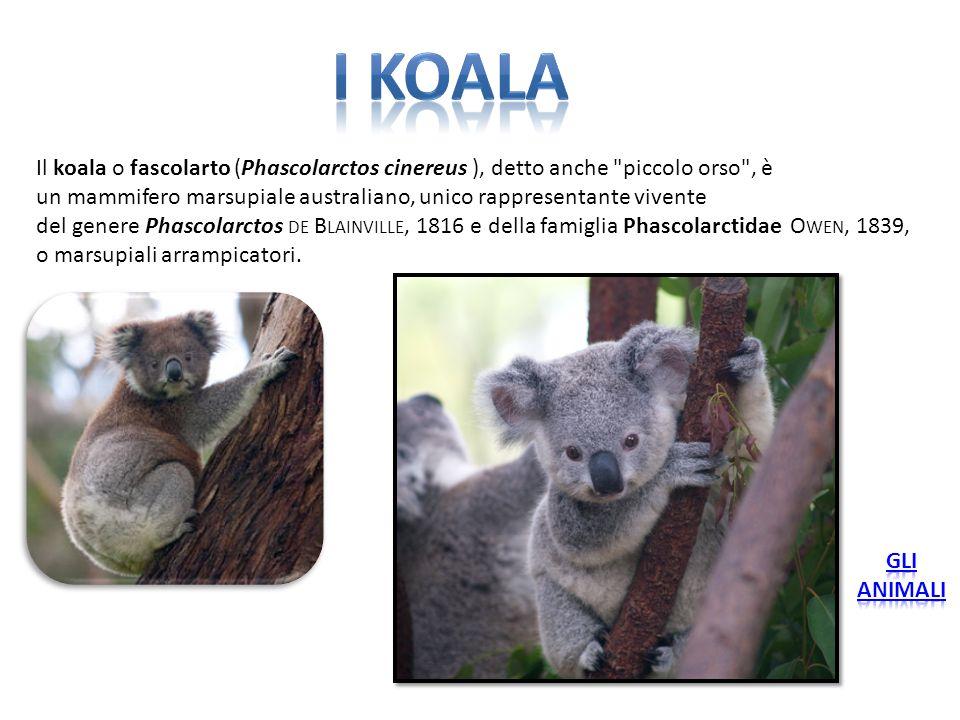 Il koala o fascolarto (Phascolarctos cinereus ), detto anche