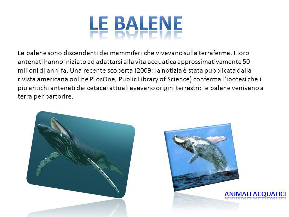 Le balene sono discendenti dei mammiferi che vivevano sulla terraferma. I loro antenati hanno iniziato ad adattarsi alla vita acquatica approssimativa